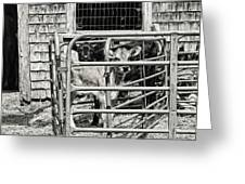 Young Cows In Pen Near Barn Maine Photograph Greeting Card