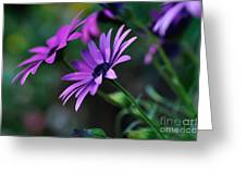 Young Daisies Greeting Card