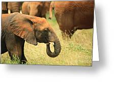 Young Elephant Greeting Card