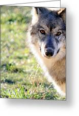 Young Gray Wolf In Light Greeting Card