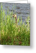 Young Grazing Goose Greeting Card