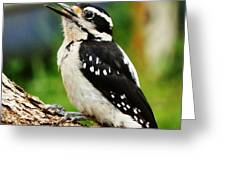 Young Hairy Woodpecker Greeting Card
