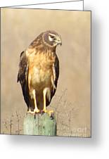 Young Harrier Greeting Card