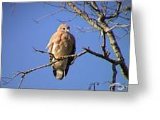 Young Hawk Greeting Card