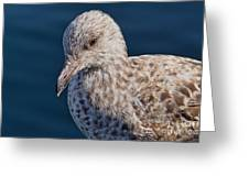 Young Herring Gull Greeting Card
