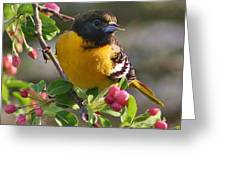 Young Male Oriole Greeting Card