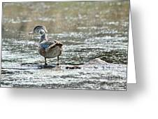 Young Male Wood Duck Greeting Card
