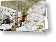 Young Marmot Greeting Card