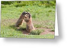 Young Marmots Greeting Card
