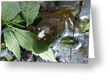 Young Mill Lake Frog II Greeting Card