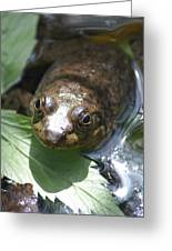 Young Mill Lake Frog Greeting Card