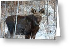 Young Moose 3 Greeting Card
