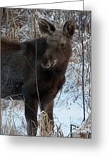 Young Moose 4 Greeting Card