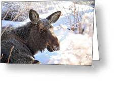 Young Moose Resting Greeting Card