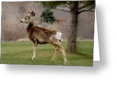 Young Mule Deer Greeting Card