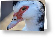 Young Muscovy Closeup Greeting Card
