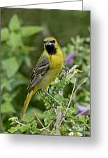 Young Orchard Oriole Greeting Card