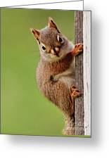 Young Red Squirrel Greeting Card