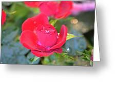 Young Rose Of November Greeting Card
