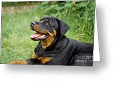 Young Rottweiler Greeting Card
