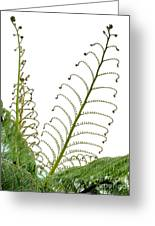 Young Spring Fronds Of Silver Tree Fern On White Greeting Card