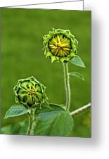 Young Sunflowers Greeting Card