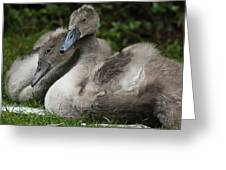 Young Swans Greeting Card