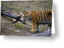 Young Tiger Greeting Card