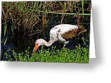 Young White Ibis Greeting Card