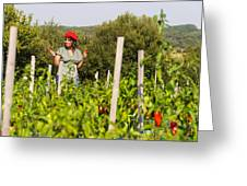 Young Woman Harvesting Red Peppers Greeting Card