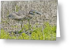 Young Yellow-crowned Night Heron Greeting Card