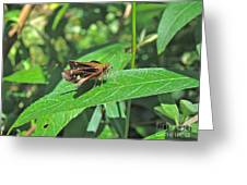 Zabulon Skipper Butterfly - Poanes Zabulon - Female Greeting Card