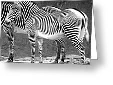 Zebra Black And White Greeting Card