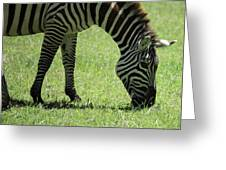 Zebra Eating Grass Greeting Card
