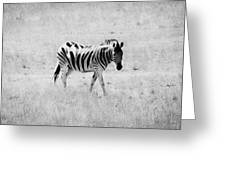 Zebra Explorer Greeting Card