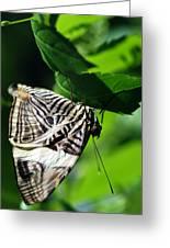 Zebra Long-wing Butterfly  Greeting Card