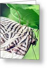 Zebra Long-wing Close-up Greeting Card