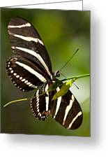 Zebra Longwing 3 Greeting Card