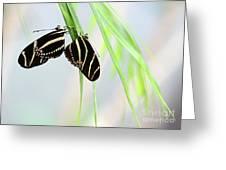 Zebra Longwing Butterflies Mating Greeting Card