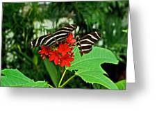 Zebra Longwing Ins 39 Greeting Card