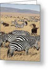 Zebra Migration Maasai Mara Kenya Greeting Card