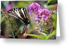 Zebra Swallowtail Butterfly At Butterfly Bush Greeting Card