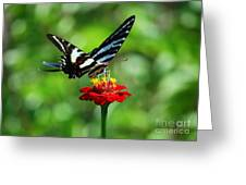 Zebra Swallowtail Butterfly On A Red Zinnia Greeting Card