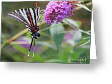 Zebra Swallowtail Butterfly On Butterfly Bush  Greeting Card