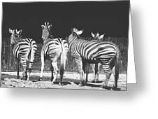 Zebras From Behind Greeting Card