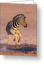 Zebras Jump From Waterhole Greeting Card