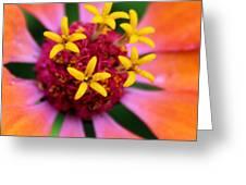 Zinnia Quintet Greeting Card