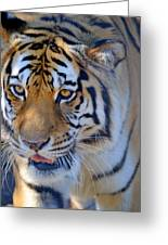 Zootography3 Tiger Prowl Close-up Greeting Card