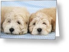 Zuchon Teddy Bear Dogs, Lying Greeting Card