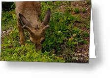 A Young Buck Grazing Greeting Card